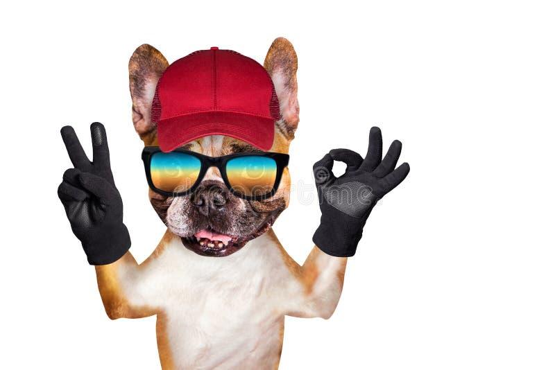 Śmieszny psi imbirowy francuski buldog w okularach przeciwsłonecznych w czerwonym nakrętki przedstawieniu znak approx zwierz? odi zdjęcia royalty free