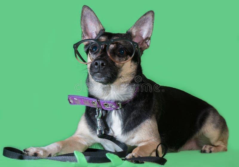 Śmieszny psi kundel z szkłami na zielonym tle obrazy royalty free