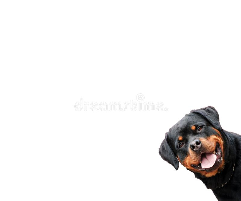 Śmieszny rottweiler pies odizolowywający obrazy royalty free