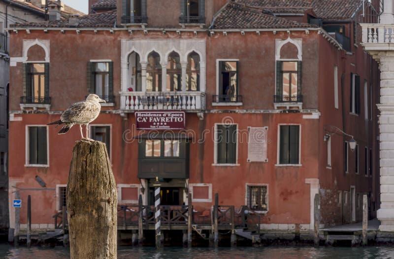 Śmieszny seagull ogląda kanał grande w Wenecja, Włochy zdjęcie stock