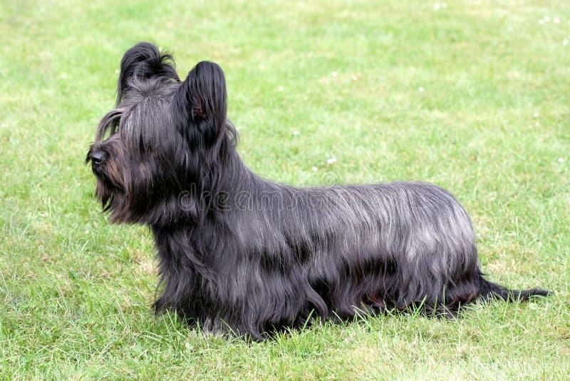 Śmieszny Skye Terrier zdjęcie royalty free