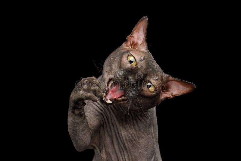 Śmieszny Sphynx kot na odosobnionym czarnym tle obrazy stock