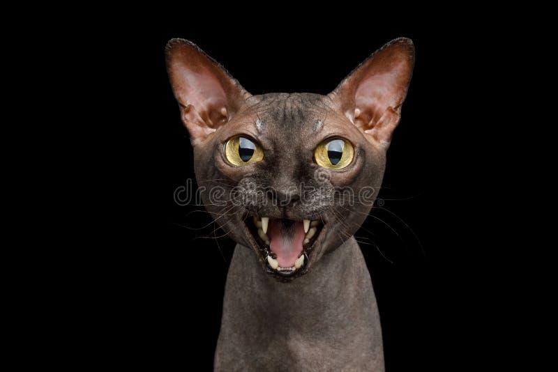 Śmieszny Sphynx kot na odosobnionym czarnym tle zdjęcie stock