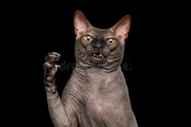 Śmieszny Sphynx kot na odosobnionym czarnym tle fotografia stock