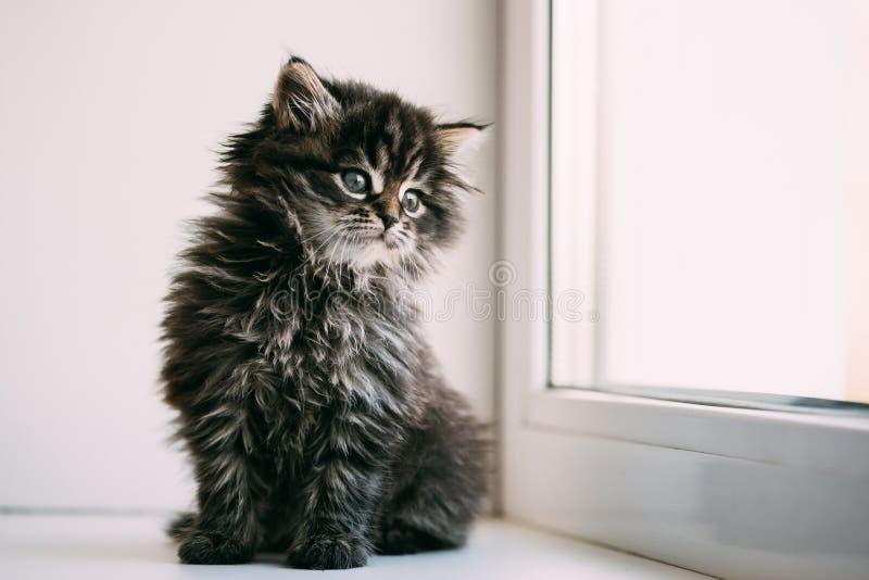 Śmieszny Szary Mały Domowego kota figlarki obsiadanie Na Białym okno fotografia stock