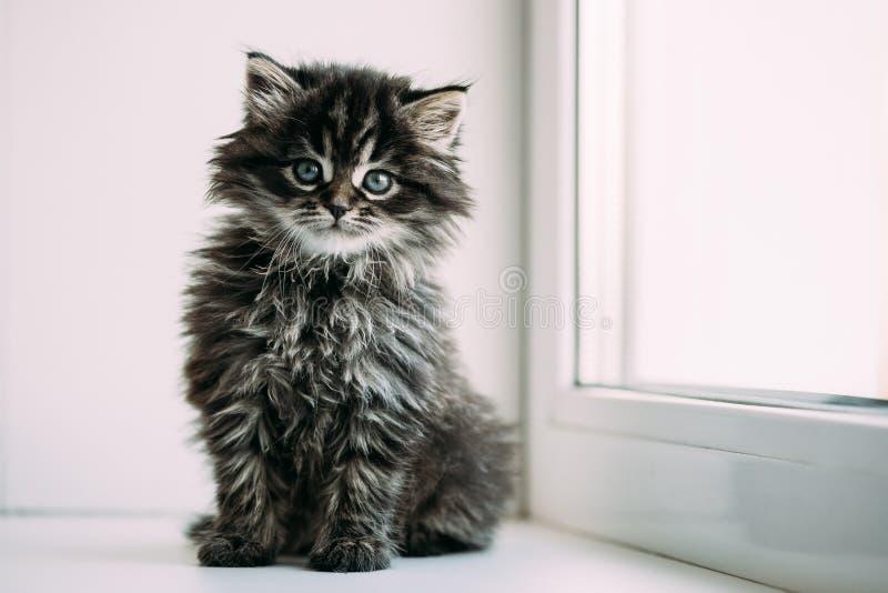 Śmieszny Szary Mały Domowego kota figlarki obsiadanie Na Białym okno zdjęcie stock