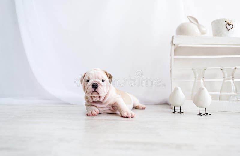 Śmieszny szczeniak angielski byka pies kłama na podłoga i patrzeć kamera zdjęcie stock