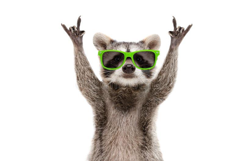 Śmieszny szop pracz w zielonych okularach przeciwsłonecznych pokazuje rockowego gest obraz stock