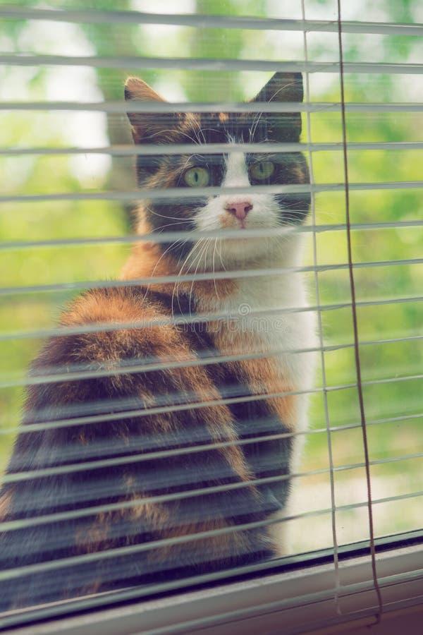 Śmieszny tricolor kota obsiadanie na windowsill i spojrzenie za okno obraz royalty free
