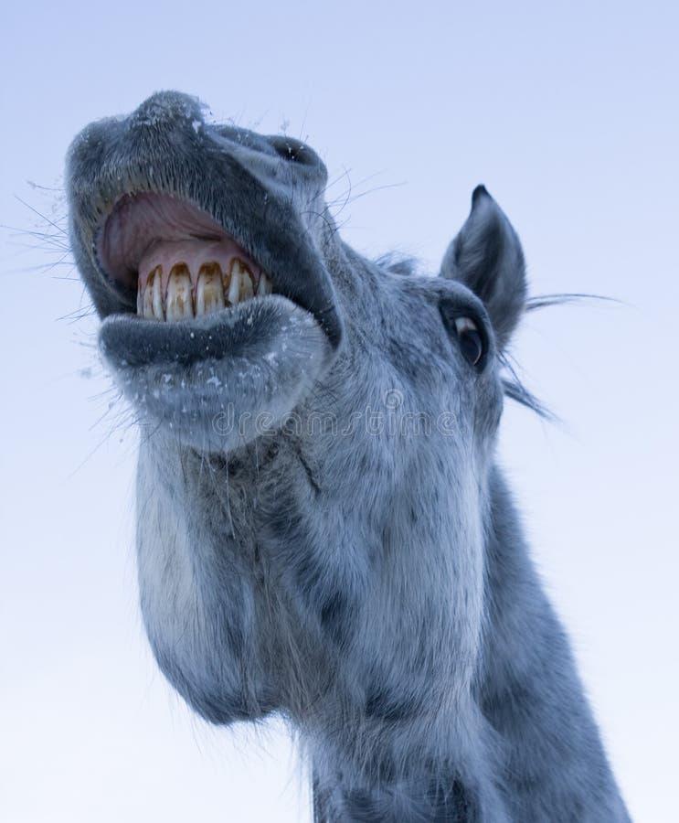 śmieszny twarz koń obrazy royalty free
