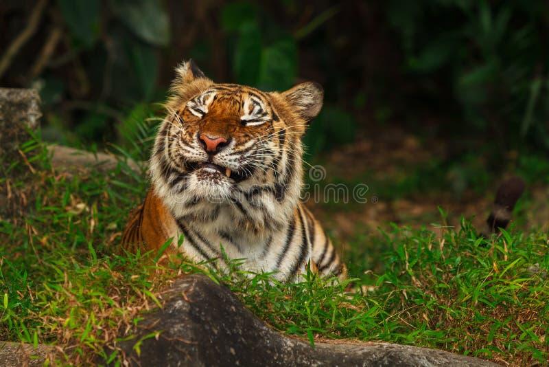 śmieszny twarz tygrys obraz stock