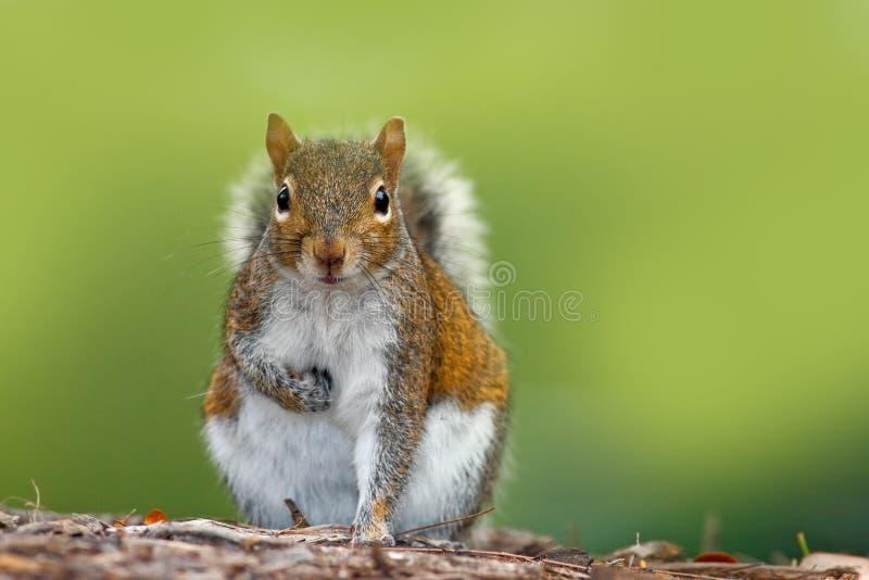 Śmieszny wizerunek od dzikiej natury Szara wiewiórka, Sciurus carolinensis, śliczny zwierzę w las ziemi, Floryda, usa Wiewiórczy  obraz stock
