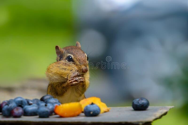 Śmieszny wschodni chipmunk faszeruje swój policzki przy bankietem owoc zdjęcia stock