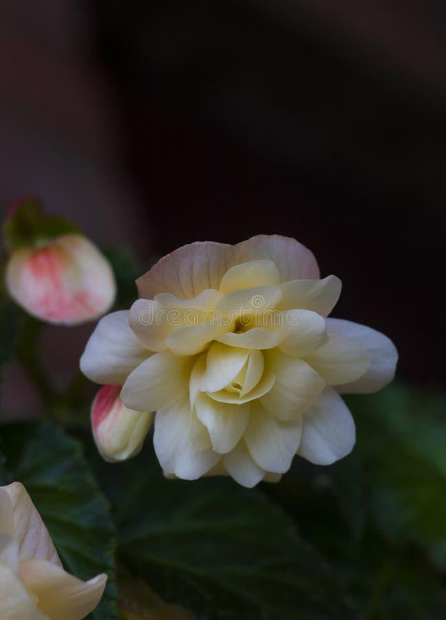Śmietankowy - białego kwiatu begoni roślina zdjęcie royalty free