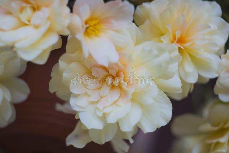 Śmietankowy - białych kwiatów rośliien begonia obraz royalty free