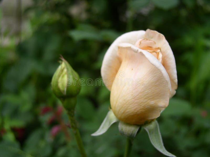 Śmietankowy kolor róży okwitnięcie zdjęcie stock