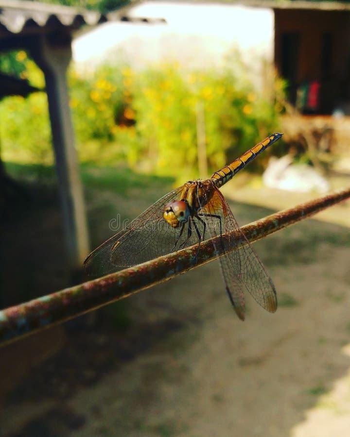 Śmigłowcowa komarnica zdjęcia stock