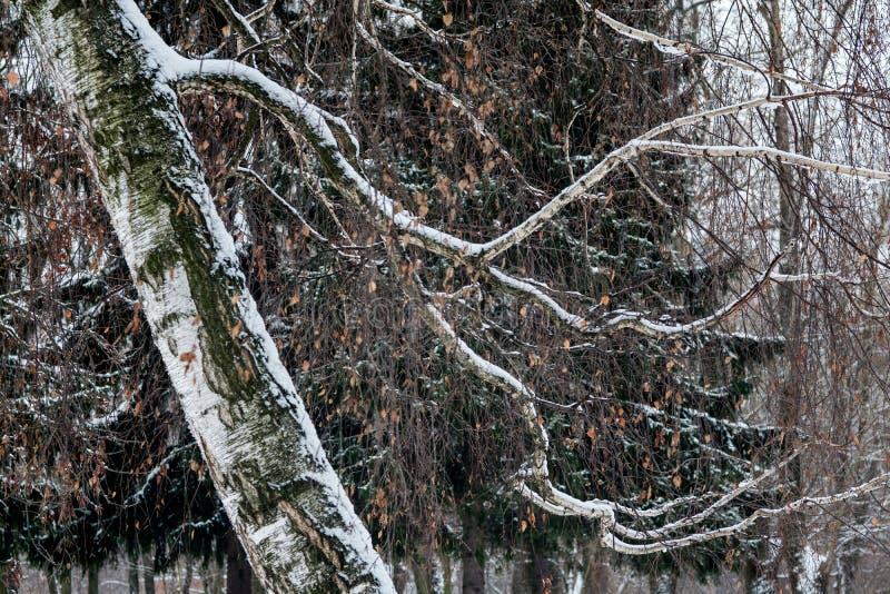 Śnieżna biała brzoza w lesie fotografia stock