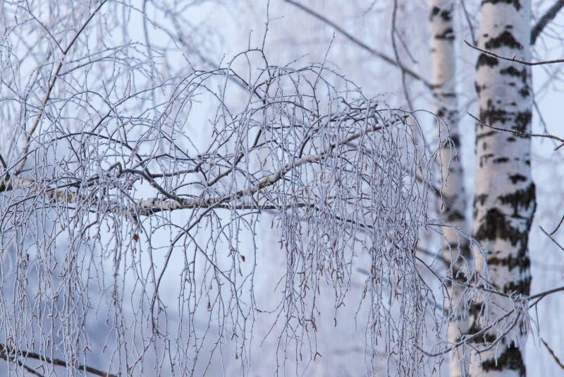 Śnieżna brzoza rozgałęzia się w zimie przeciw niebu zdjęcie stock