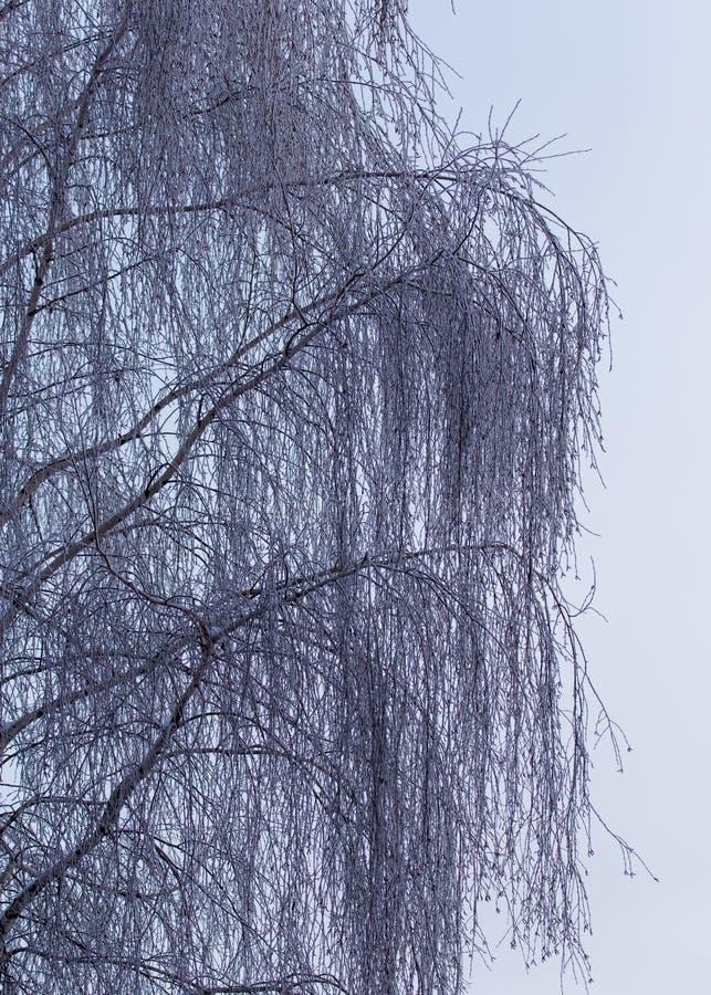 Śnieżna brzoza rozgałęzia się w zimie przeciw niebu zdjęcie royalty free