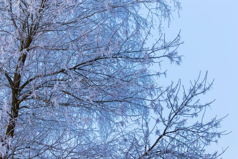 Śnieżna brzoza rozgałęzia się w zimie przeciw niebu obrazy stock