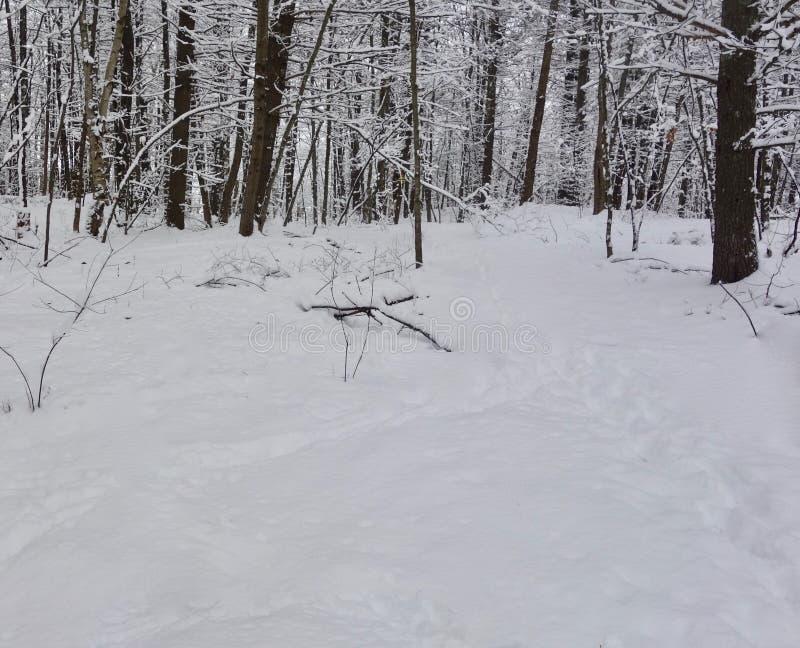 Śnieżna burza w pustkowie lesie, zdjęcie stock