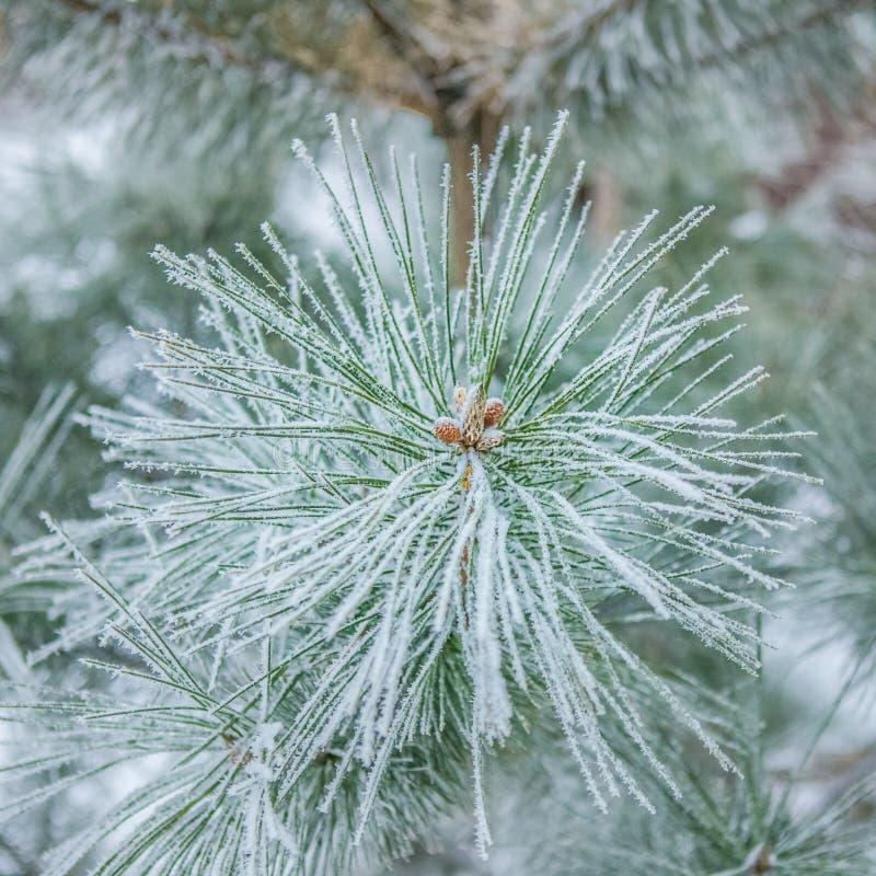 Śnieżna gałąź fotografia stock