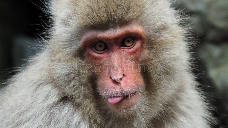Śnieżna małpa wtyka out jęzor obraz royalty free