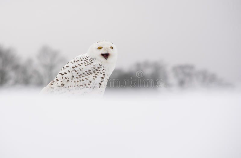 Śnieżna sowa zdjęcia royalty free