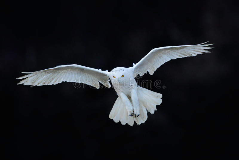 Śnieżna sowa, Nyctea scandiaca, biały rzadkiego ptaka latanie w ciemnym lesie, zimy akci scena z otwartymi skrzydłami, Kanada fotografia royalty free