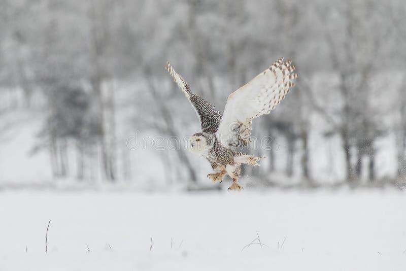 Śnieżna sowa w locie nad Śnieżnym polem obraz royalty free