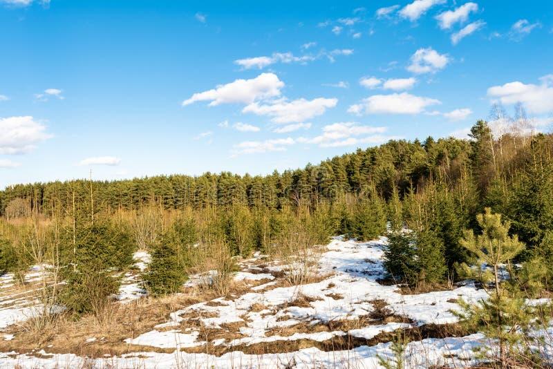 Śnieżna zbocze góry z narastającymi sosnami i małe jodły, pogodny wiosna dzień z niebieskim niebem z chmurami zdjęcie stock