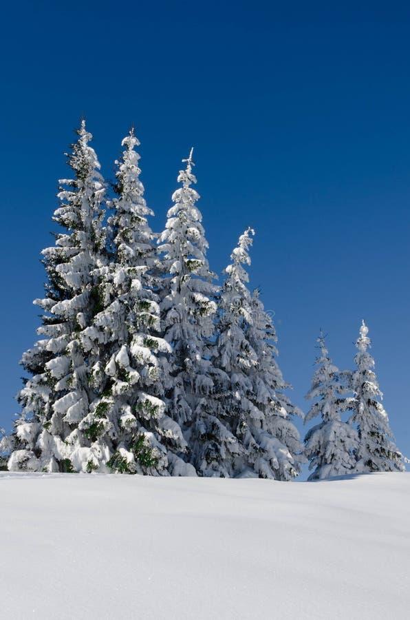 Śnieżne sosny Grupa śnieżne sosny na tle czysty niebieskie niebo fotografia royalty free
