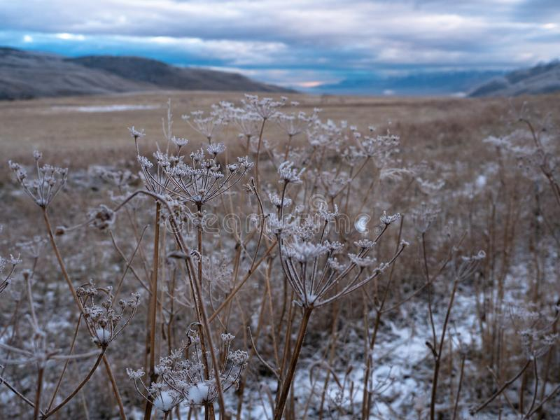 Śnieżne Wysuszone rośliny z wschód słońca w tle zdjęcia royalty free