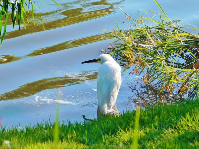 Śnieżnego egret Egretta thula, mała biała czapla zdjęcie stock