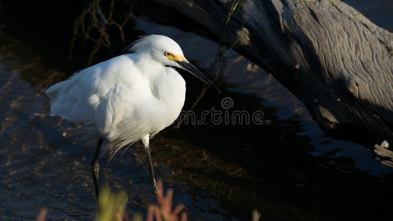 Śnieżnego Egret polowanie Wzdłuż Jeziornego brzeg zdjęcie stock