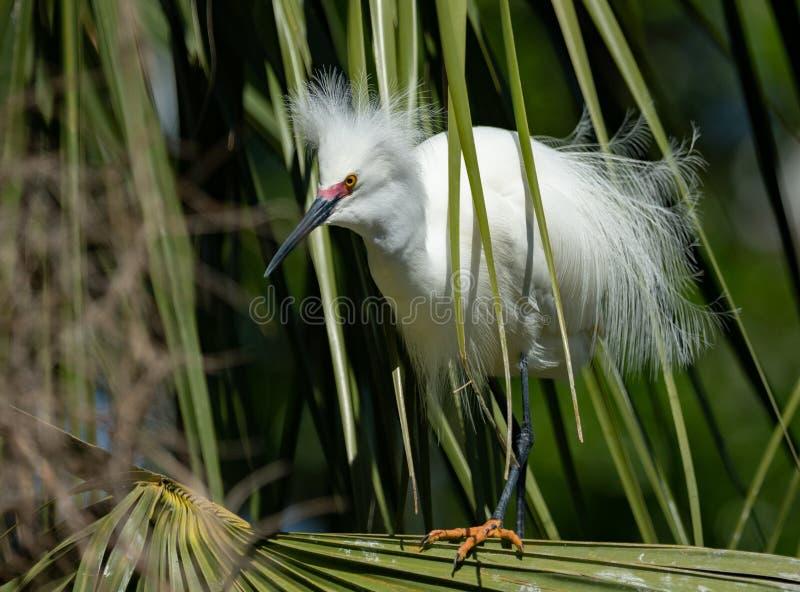 Śnieżnego Egret portret zdjęcie royalty free
