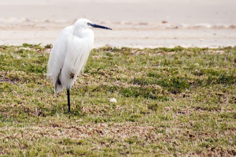 Śnieżnego Egret pozycja na jeden nodze obraz stock