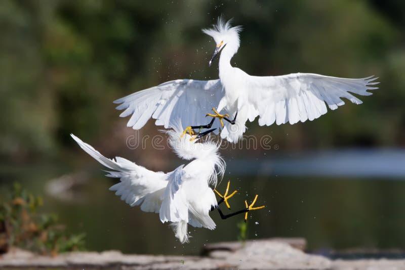 Śnieżnego Egret walka obraz stock