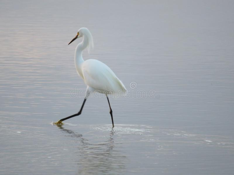 Śnieżnego egret wody brodzące opuszcza czochry zdjęcie royalty free