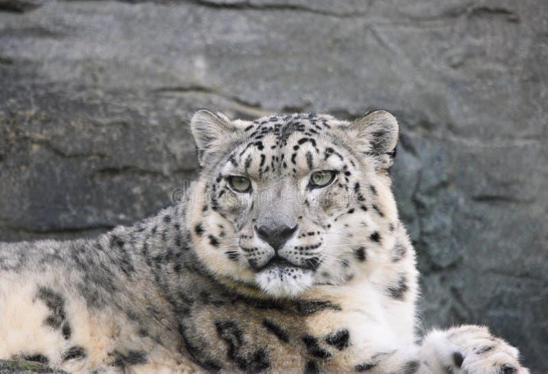 Śnieżnego lamparta Panthera uncia obrazy stock