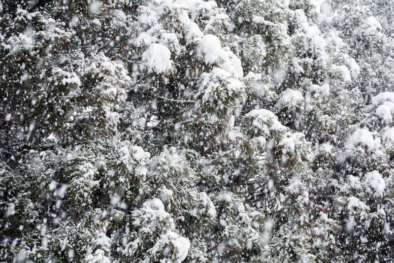 Śnieżni conifer drzewa fotografia stock