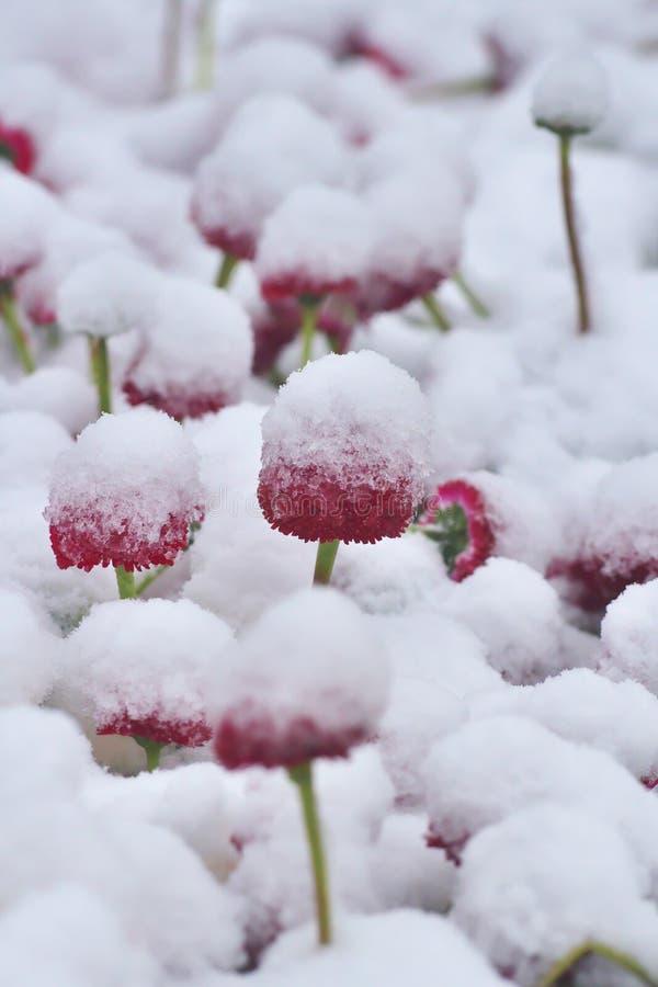 Śnieżni czerwień psa stokrotki Bellis perennis w wiośnie zdjęcie stock