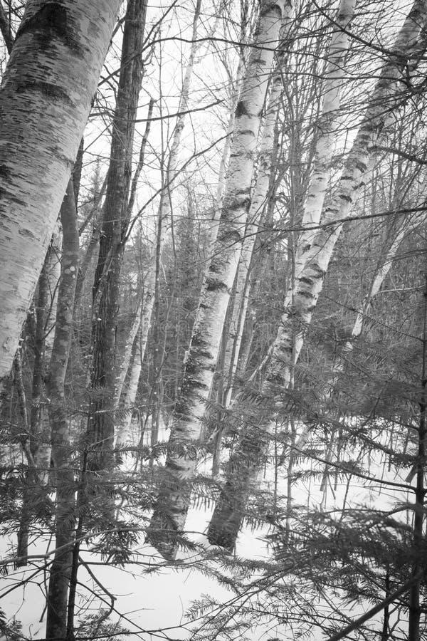 Śnieżni drewna zdjęcia royalty free