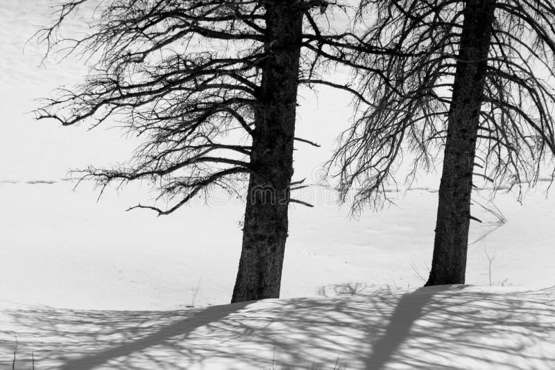 śnieżni dwa drzewa zdjęcia stock