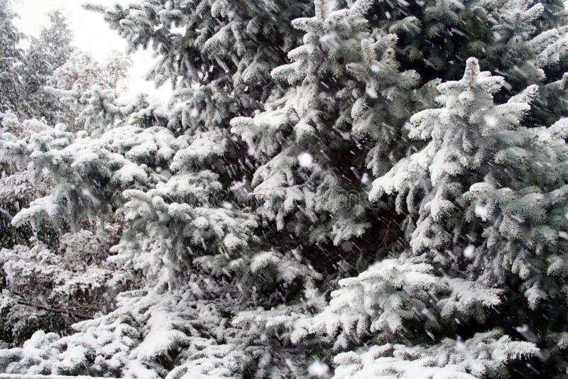 Śnieżni Iglaści drzewa obrazy royalty free