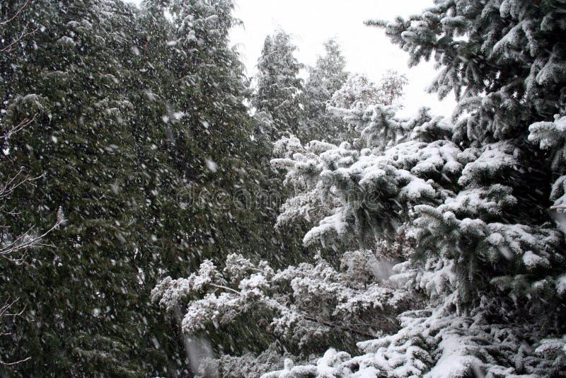 Śnieżni Iglaści drzewa zdjęcia stock