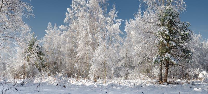 Śnieżni jedlinowi drzewa w zima lesie przy opad śniegu śnieżnym drewnem w su/ zdjęcie stock