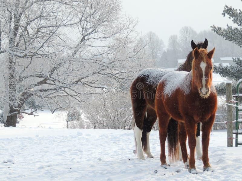 Śnieżni koniki obrazy royalty free