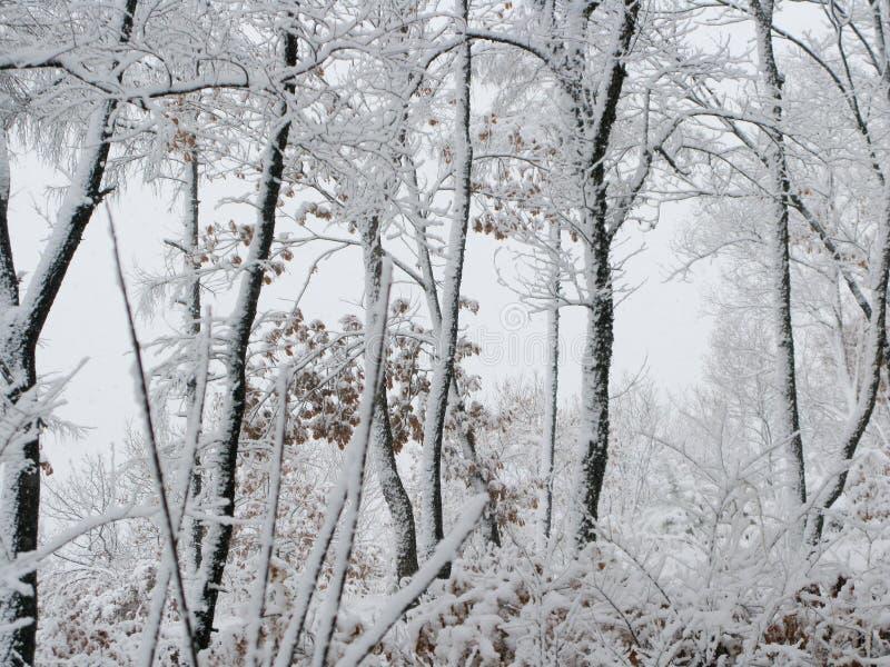 śnieżni lasu objętego zdjęcie royalty free